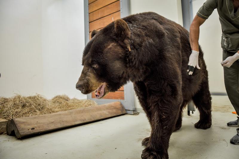 Faisa - El eterno oso americano - Ukumarí